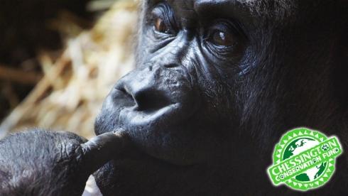 Chessington Gorilla