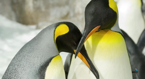 King Penguins at Antarctica: Empire of the Penguin