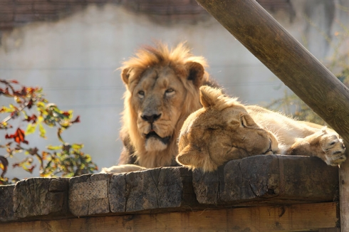 Lions at Chessington World of Adventures