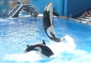 SeaWorld killer whale image