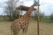 Chessington giraffe