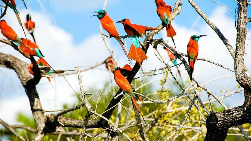 Family of Carmine Bee Eaters in a tree