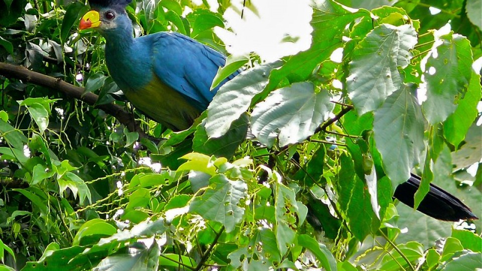 Great Blue Turaco in a tree