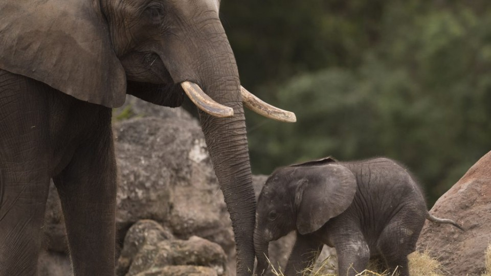Baby elephant with mama